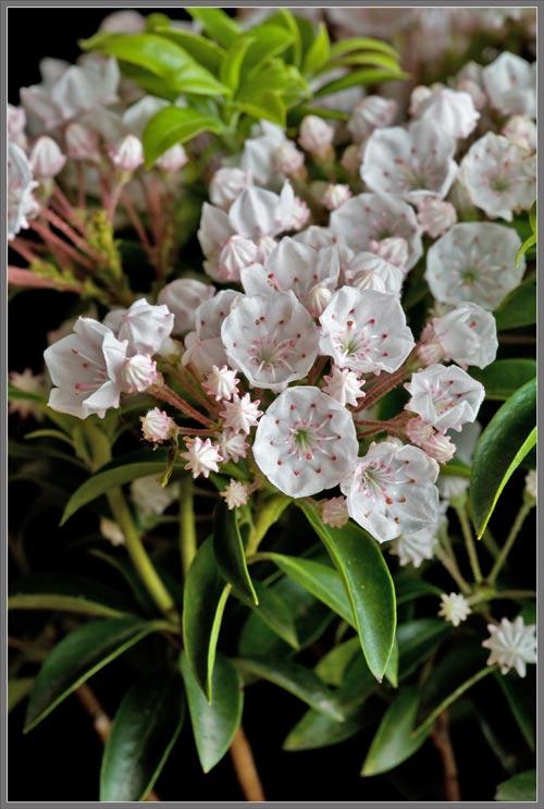 Mountain Laurel: Flowers, Trees & Plants | eBay