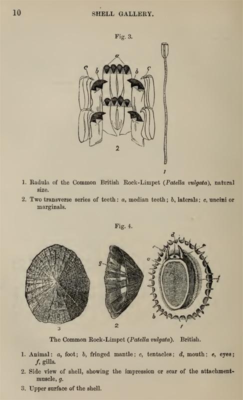Tough    teeth     the radula of the mon limpet Patella vulgata