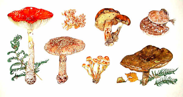 Fly Agaric Drawing Including Fly Agaric