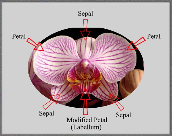 Orchid flower anatomy