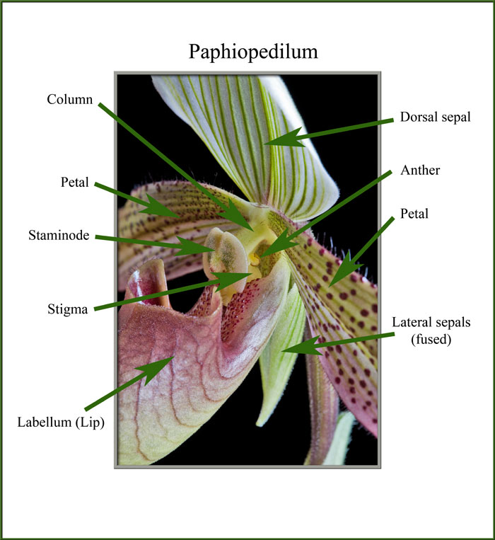 a close-up view of a lady's slipper orchid diagram of inside of the lungs diagram of orchids