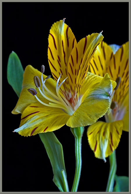 Mic Uk A Close Up View Of The Peruvian Lily