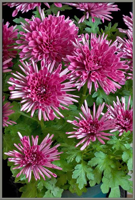 the three images that follow show a chrysanthemum bud  notice that the  intense colour of the final flower is nowhere to be seen in the bud form