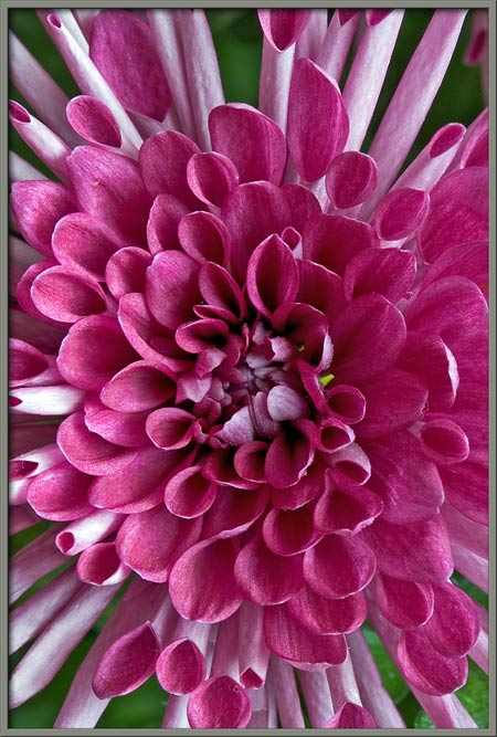 mum flower diagram simple wiring diagram site Carnation Flower mic uk a close up view of the chrysanthemum mum flower graphic mum flower diagram