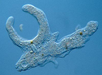 real amoeba pictures wwwpixsharkcom images galleries