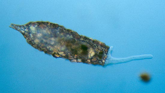 mic uk amoebas are more than just blobs