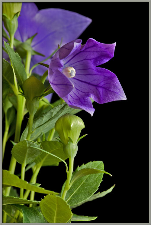 Mic uk a close up view of the balloon flower finally the actinomorphic 5 merous nature of the balloon flower appears sorry but i couldnt resist the didactic urge actinomorphic means star shaped mightylinksfo