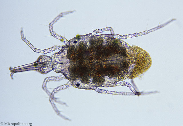 http://www.microscopy-uk.org.uk/micropolitan/fresh/arthropod/watermite2.jpg