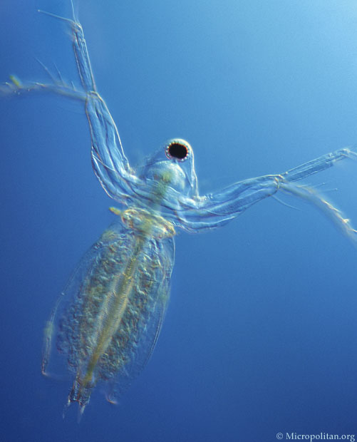 Diaphanosoma brachyurum is another very transparent cladoceran. The ...