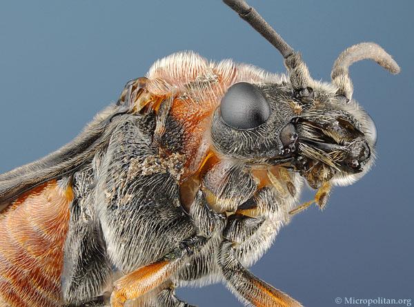 http://www.microscopy-uk.org.uk/micropolitan/insectportrait/portrait/sawfly600.jpg