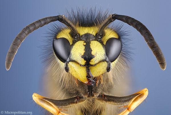 http://www.microscopy-uk.org.uk/micropolitan/insectportrait/portrait/wasp.jpg