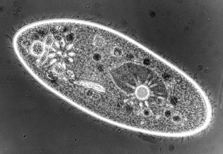 Observation On Three Protozoa Of The Genus Amphileptus