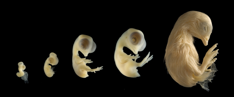 Image result for chicken embryo
