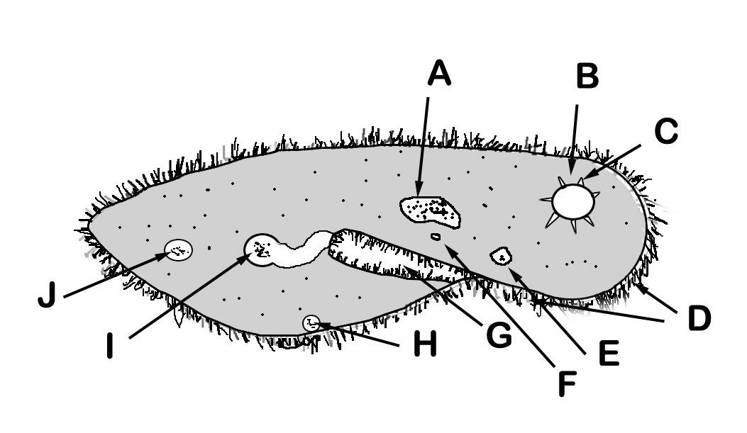 The Paramecium Engima